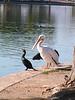 American White Pelican & Neotropic Cormorant, Cesar Chavez Park, Laveen, AZ, jan 11, 2016 143