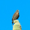 180, harris' hawk ,saguaro nat park, dec 8, 2004c